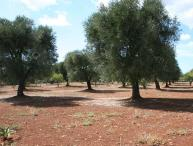 Typical trullo within a large olive grove in sunny position.